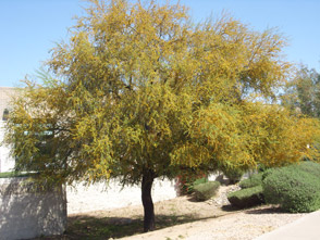 With 60 Years Of Experience Growing Trees In The Chandler Arizona Soil Whitfill Nursery Knows How To Cultivate That Are Proven Thrive